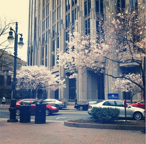 Springtime in full bloom, downtown Charlotte.